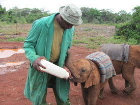 orphaned elephant feeding from a bottle